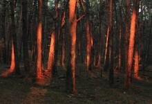 Rode stammen